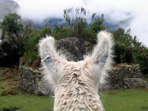 A llama's view (c) Evan G